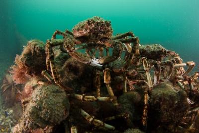 spider-crabs-080