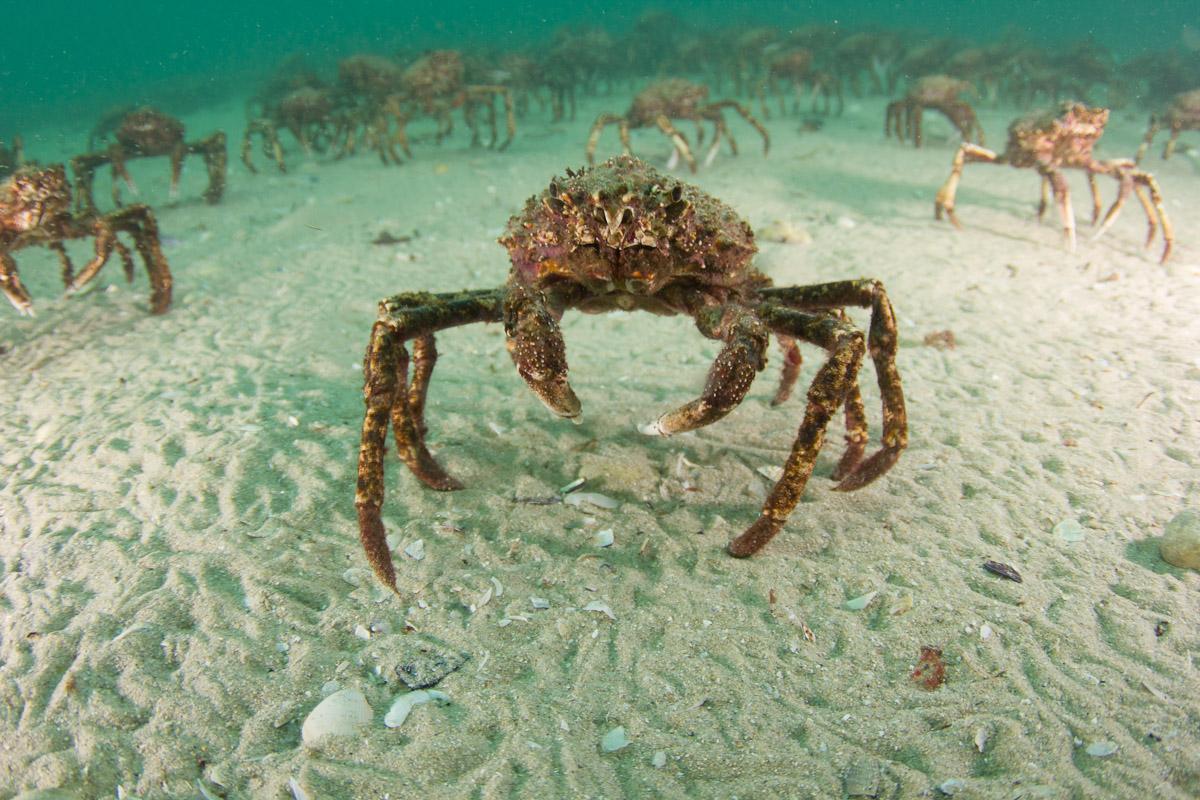 Spider crab - photo#11