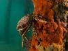 spider-crabs-045