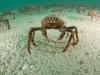spider-crabs-065
