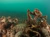 spider-crabs-079