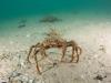 spider-crabs-122
