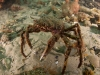 spider-crabs-136