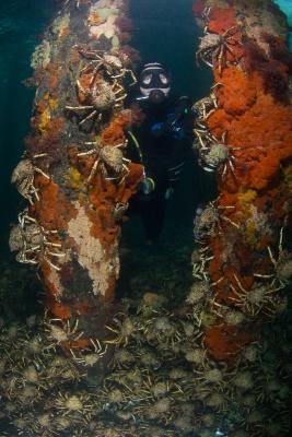 rye-spider-crabs-065
