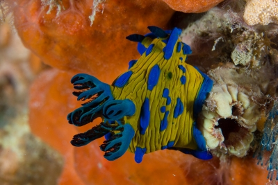 Verco's Nudibranch