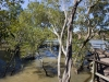 Mangroves along Brisbane river