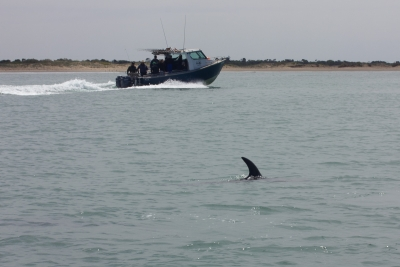 Dolphins near Port Phillip Heads