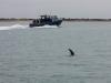 Dolphins near Port Phillip Heads