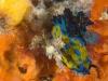 Verco's nudibranch
