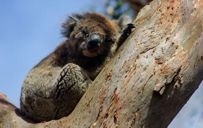 Koala in a tree (HDR)