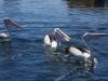 Pelicans at Queenscliff boat ramp