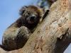 Koala in a tree (HDR)