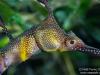 Nice seadragon closeup