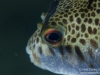 Toadfish closeup