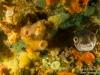 Crazy pufferfish
