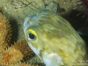 Pufferfish closeup