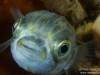 Nice Pufferfish closeup