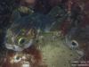 Pair of Pufferfish