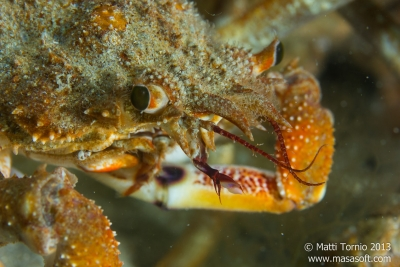 Spider crab closeup