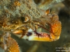 Spider crab closeup