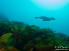Seal swimming above kelp forest