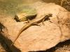Another lizard