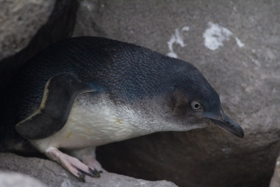 Penguin closeup